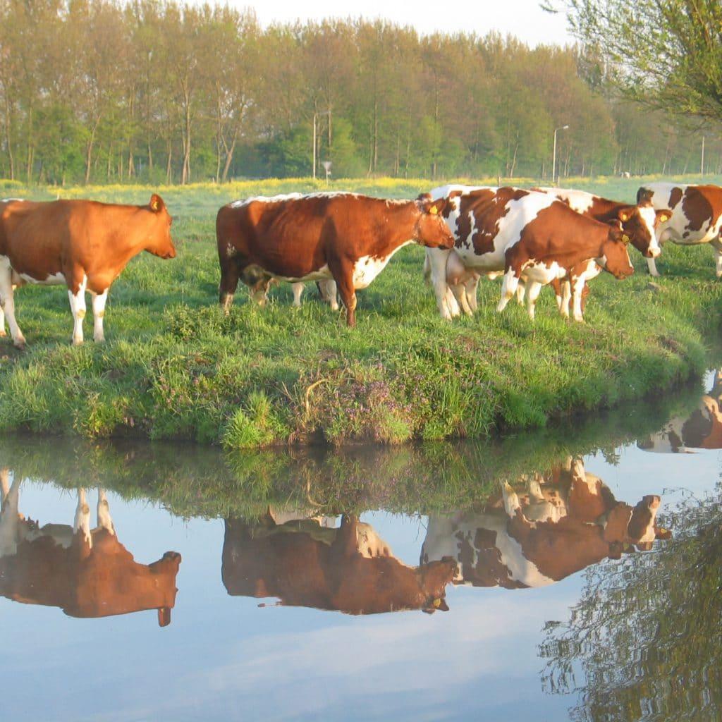 koeien Alblasserwaard